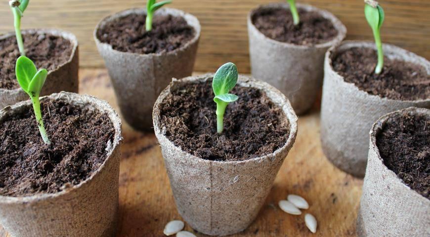 Когда сажать перец на рассаду в 2020 году в подмосковье, для получения в дальнейшем хорошего сочного урожая