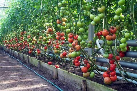 Выращивание помидоров в теплице: формирование, уход, подкормка