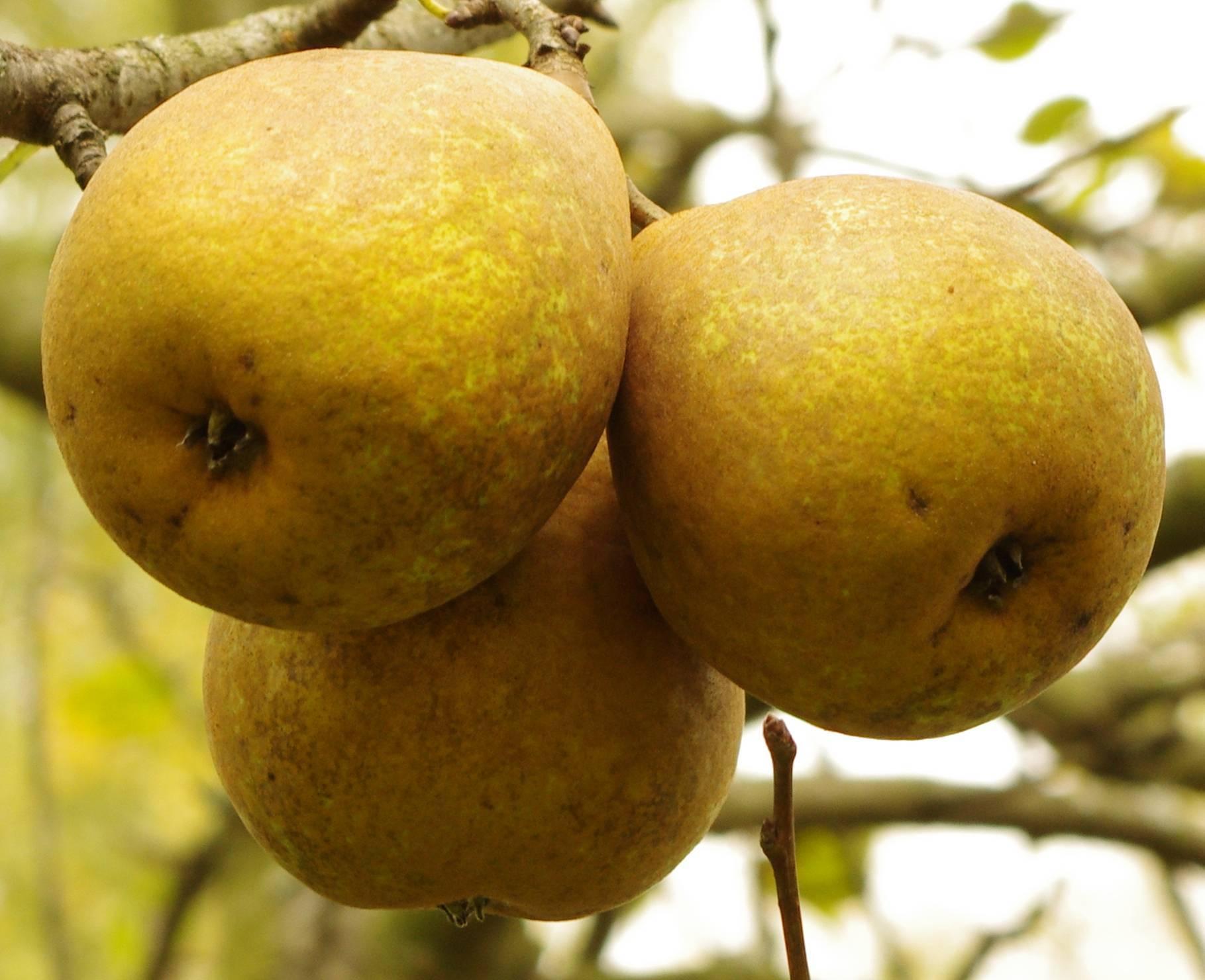 Парша на груше и яблоне. чем лечить и как предупредить.