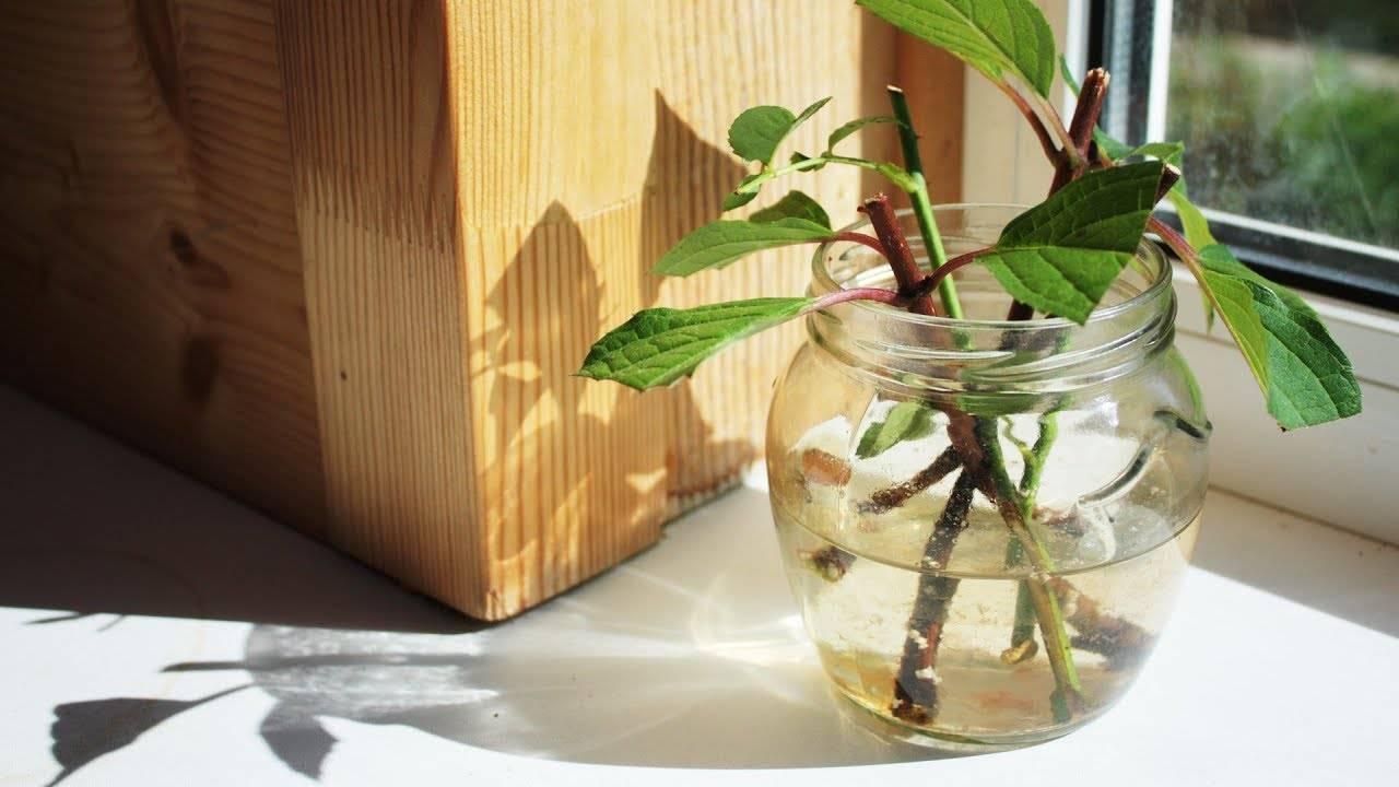 Размножение азалии черенками в домашних условиях: как укоренить и вырастить рододендрон, также вечнозеленый сорт, будет ли результат, если посадили три месяца назад? русский фермер
