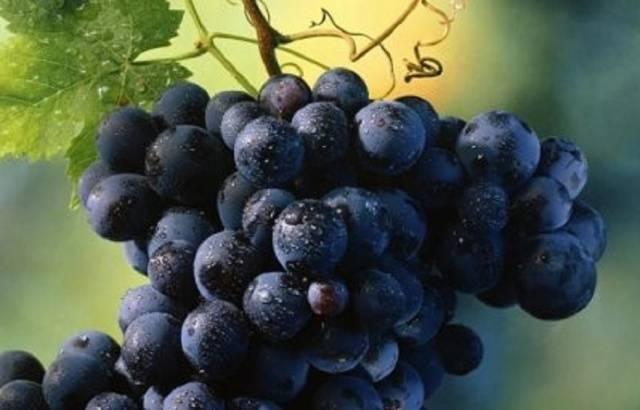 Особенности винограда шахтёр - мыдачники