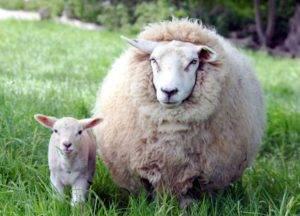 Овцеводство - бизнес-план, содержание и реалии при разведении овец (100 фото)