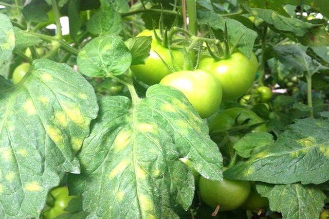 Почему рассада помидор покрылась в желтую крапинку?