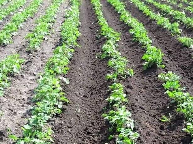 Выращивание картофеля по голландской технологии – советы агрономов