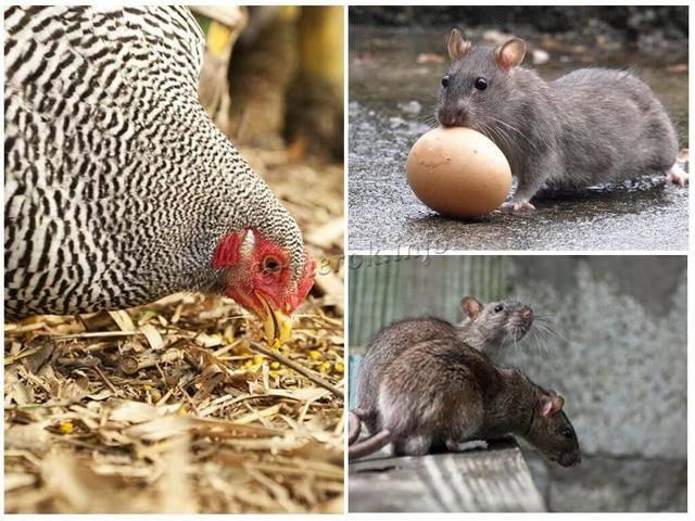 Как избавиться от крыс в курятнике, действующие методы