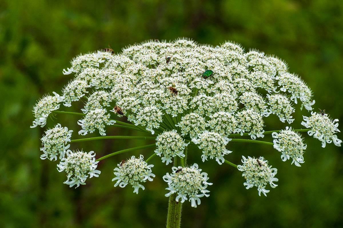 Растение борщевик: свойства семян, сока и листьев борщевика, как избавиться от травы