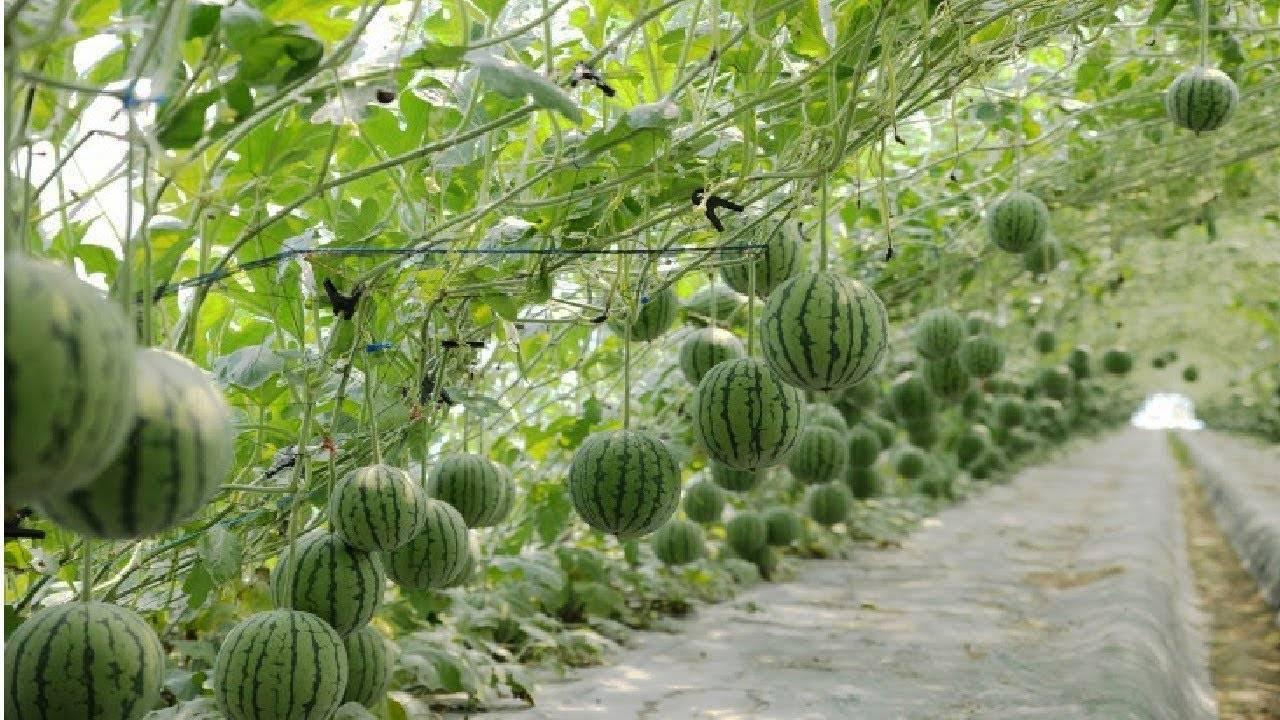 Выращивание рассады арбуза | во саду и в огороде