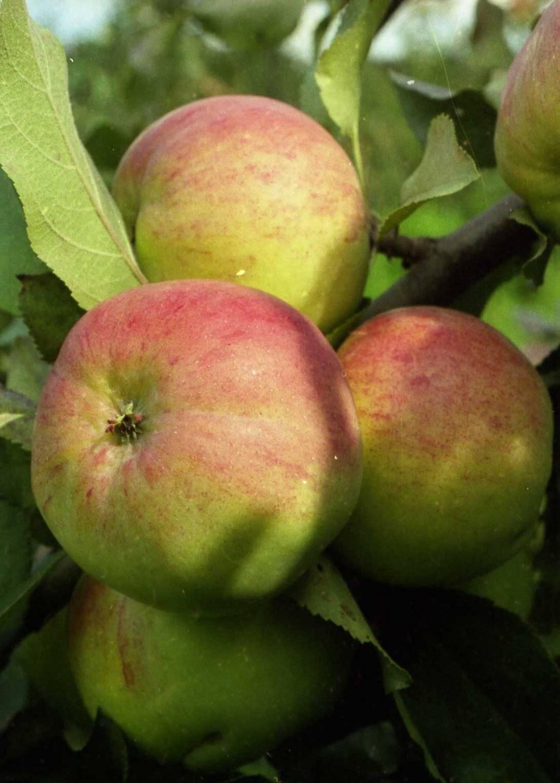 Лучшие сорта яблок: фото, названия и описания (каталог)