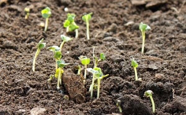 Уход за редисом в теплице   вырасти сад!