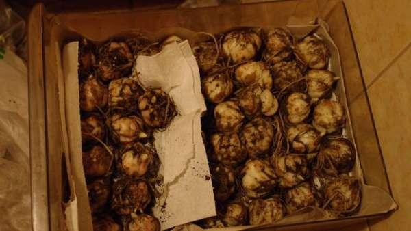 Как сохранить луковицы лилий до весны в домашних условиях, подготовка лилий к зиме