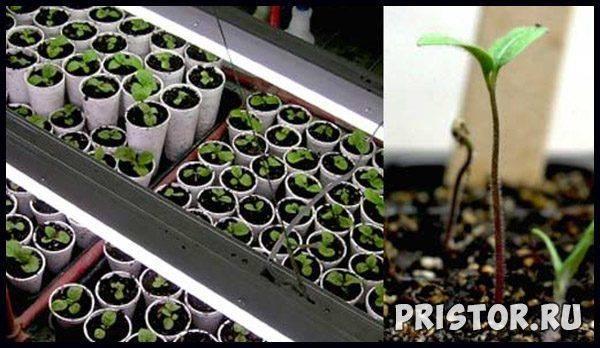 Белокочанная капуста: выращивание рассады из семян, уход за рассадой до посадки в открытый грунт