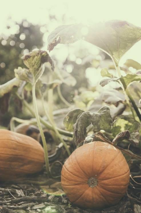 Выращивание тыквы из семян и уход за ней в открытом грунте и в теплице на даче, фото