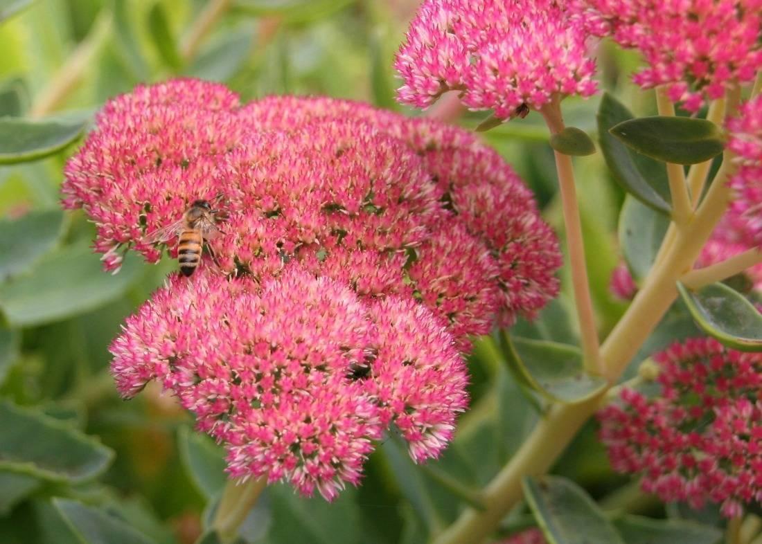 Очиток, основные правила посадки и ухода за растением