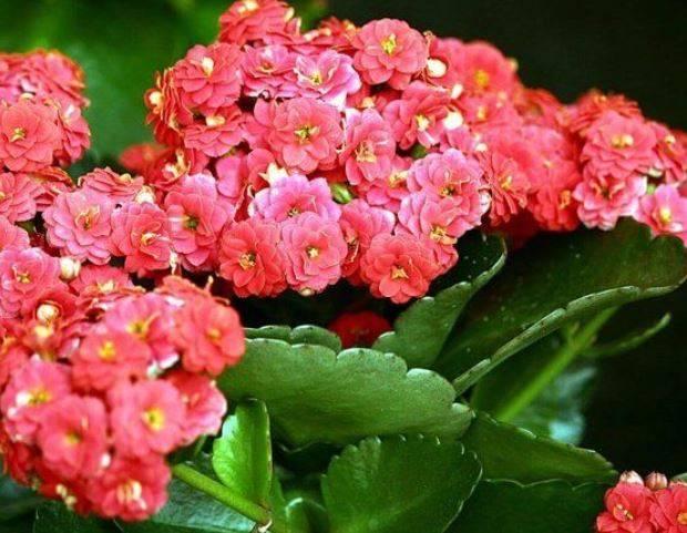 Каланхоэ не цветет! как заставить цвести каланхоэ в домашних условиях?