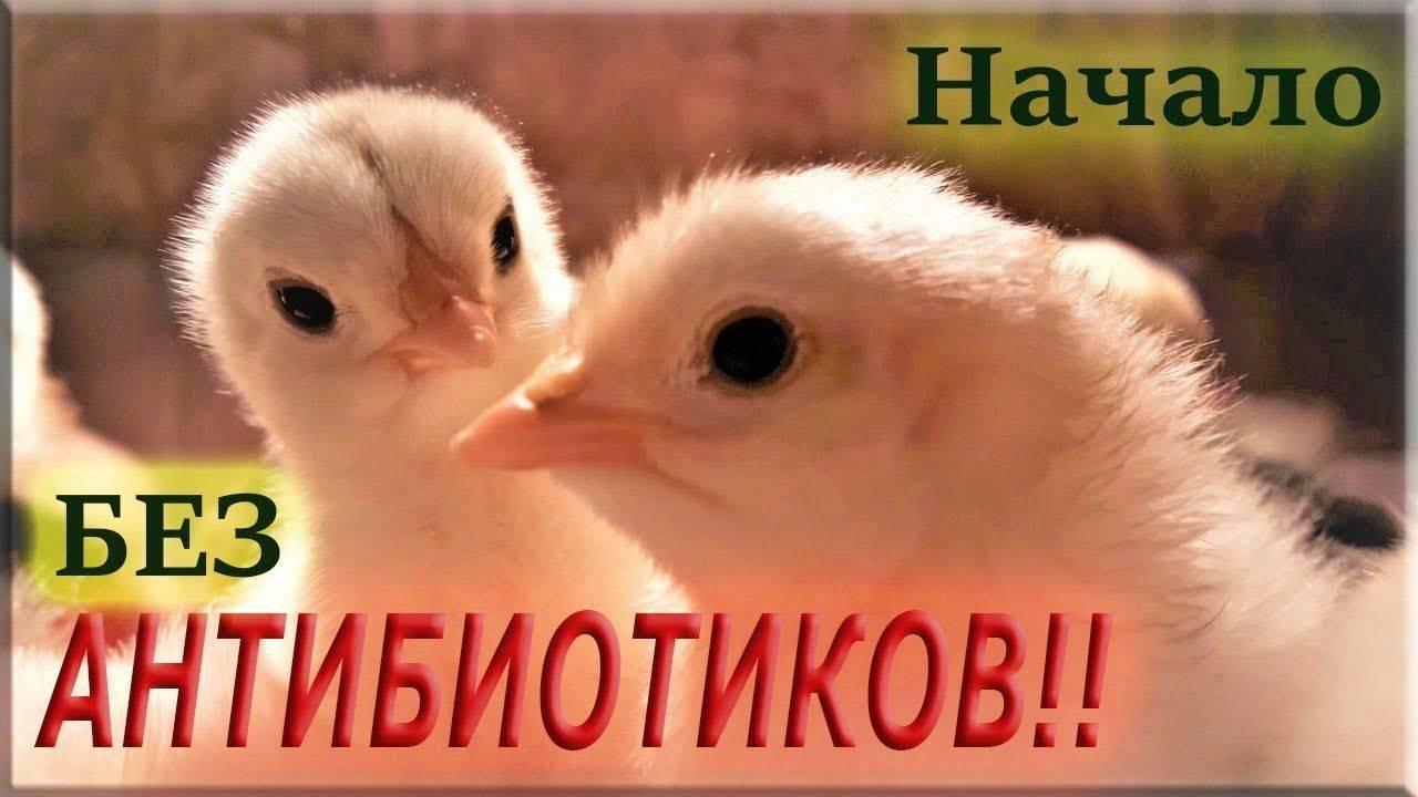 В каких случаях и в какой дозировке давать левомицетин цыплятам и курам