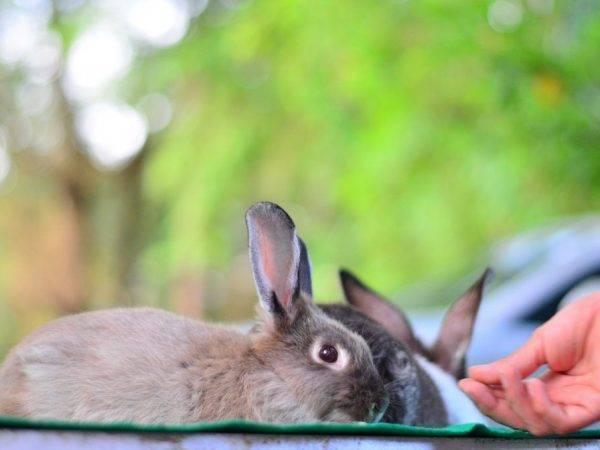 Крольчиха не рвет пух, не делает гнездо и таскает сено в зубах перед родами