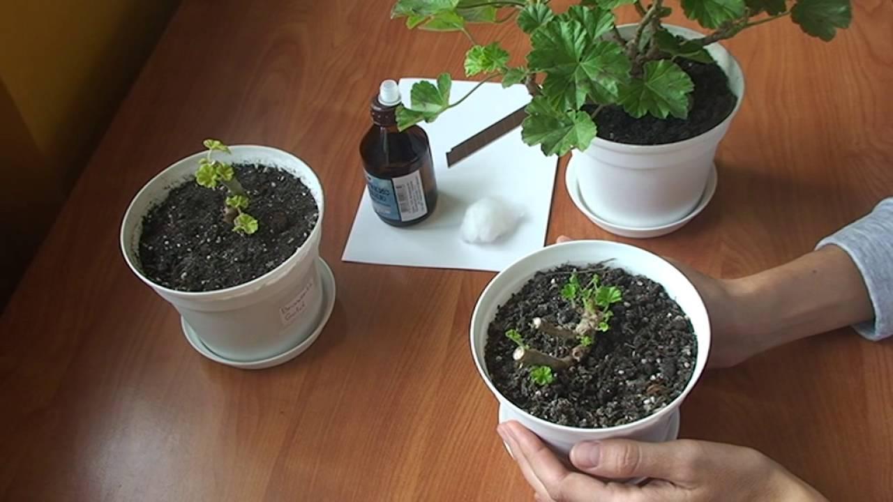 Как обрезать герань для пышного цветения. что делать, если растение сильно вытянулось зимой
