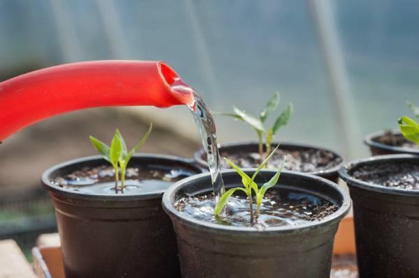 Почему рассада помидор тонкая и длинная: что делать
