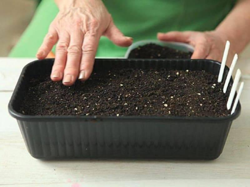 Лук чернушка: описание сорта, посадка, выращивание, уход и сбор