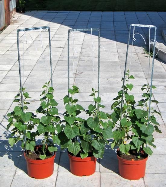 Выращивание огурцов на подоконнике зимой или весной по-легкому