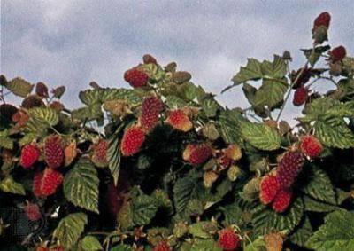 Ежемалина: описание сорта, фото, отзывы, уход и выращивание