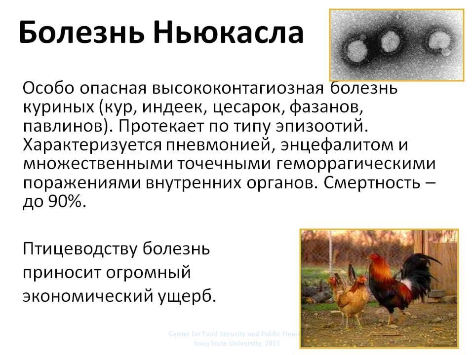 Инфекционный бронхит у кур: лечение, диагностика