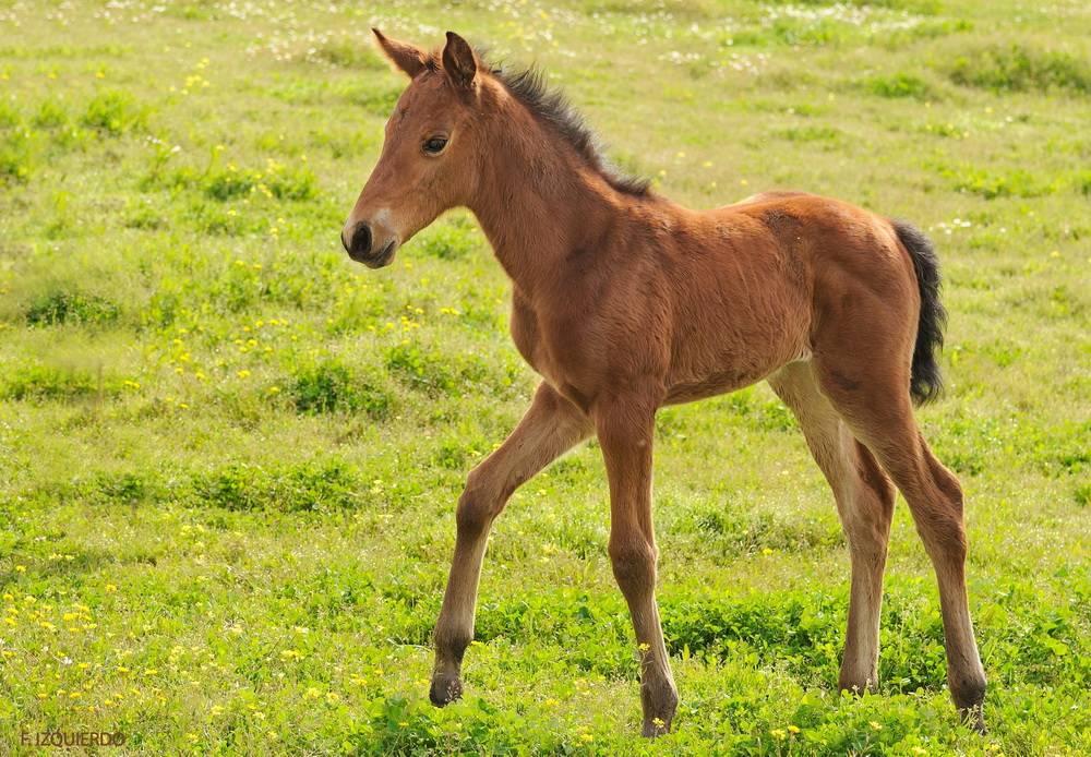 Жеребенок (37 фото): как они выглядят? как ухаживать за маленькими новорожденными лошадьми? как приручить к себе и воспитать?