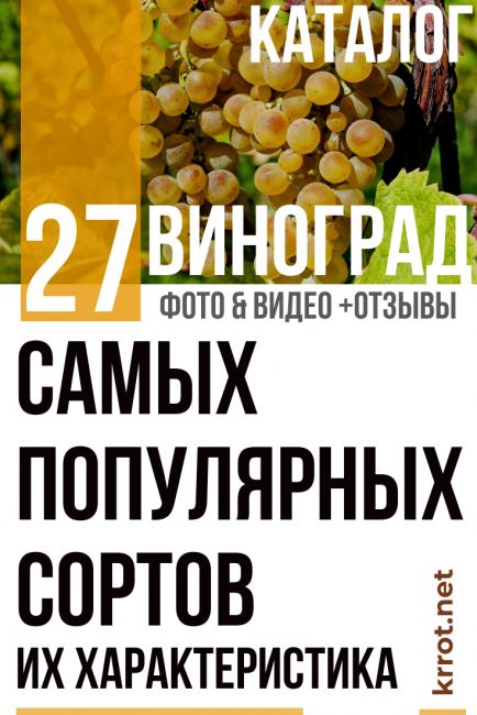 «феномен» — гибридный сорт столового винограда