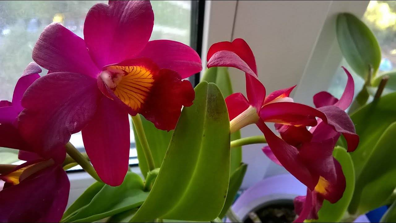 Орхидея каттлея. советы и рекомендации по уходу в домашних условиях. вредители, возможные проблемы. фото и видео