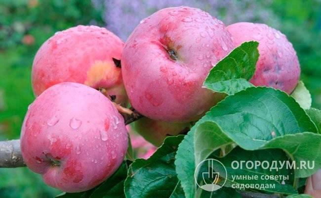 Яблоня подарок графскому: описание сорта и его фото, подробные характеристики и особенности выращивания selo.guru — интернет портал о сельском хозяйстве