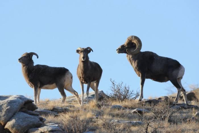 Алтайский горный баран: интересные факты