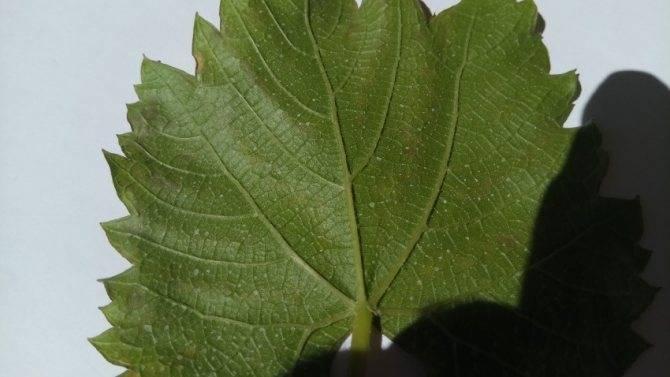У вашего винограда желтеют и засыхают листья? узнайте, что нужно делать! | фазенда рф