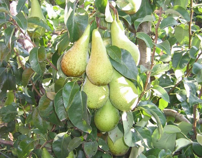 Груша бергамот: популярные сорта с плоской формой плодов