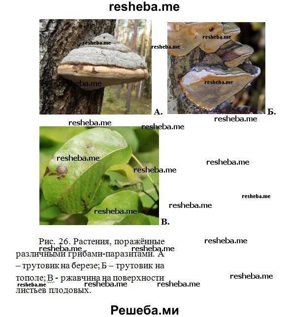 Грибы паразиты поселяются на живых растениях и питаются органическими веществами клеток растения-хозяина, сильно угнетая его. грибы-паразиты приносят. - презентация