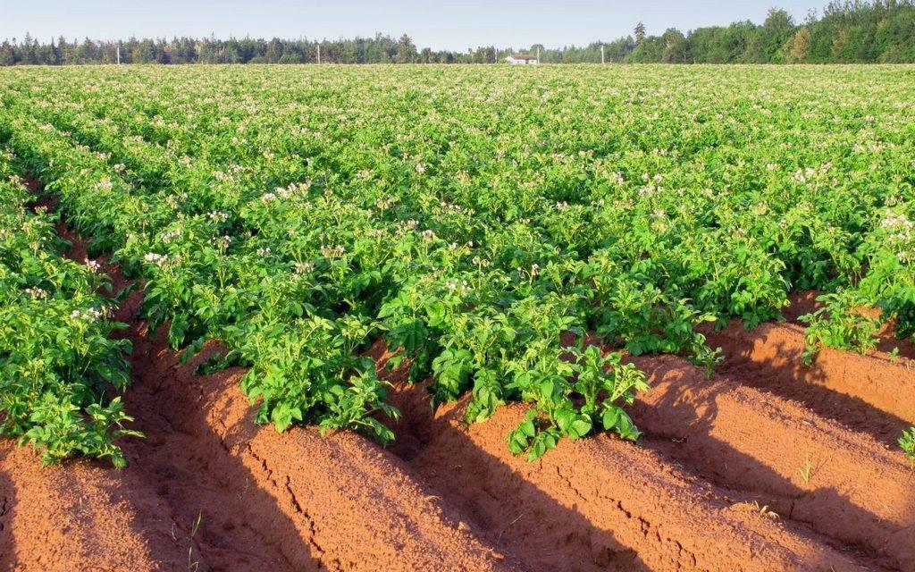 Пошаговая инструкция выращивания картошки из семян