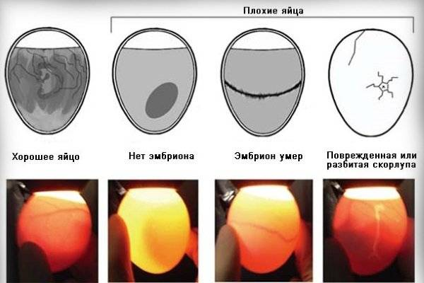 Можно ли мыть яйца перед закладкой в инкубатор: рекомендации, фото и видео