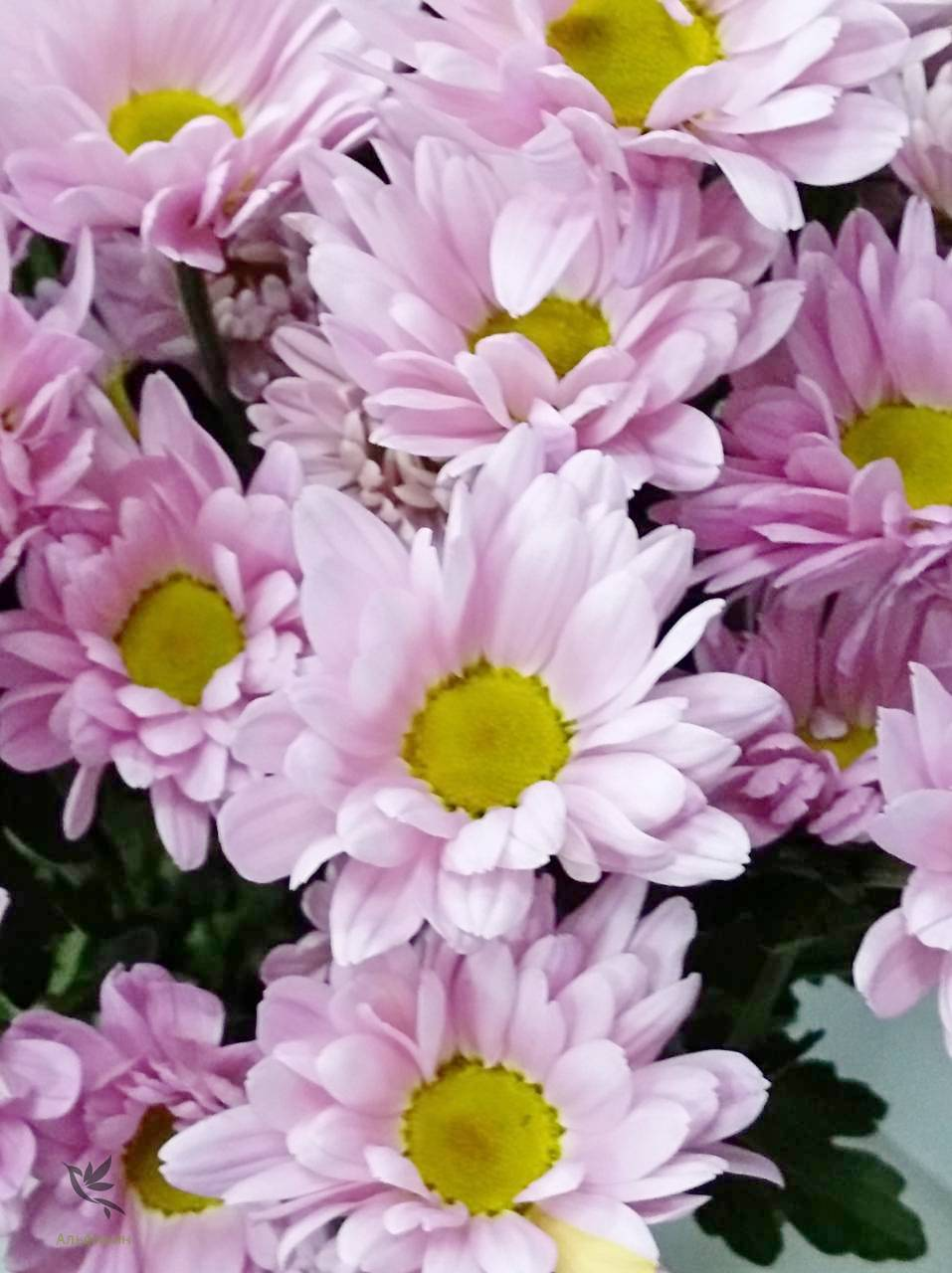 Хризантема бакарди