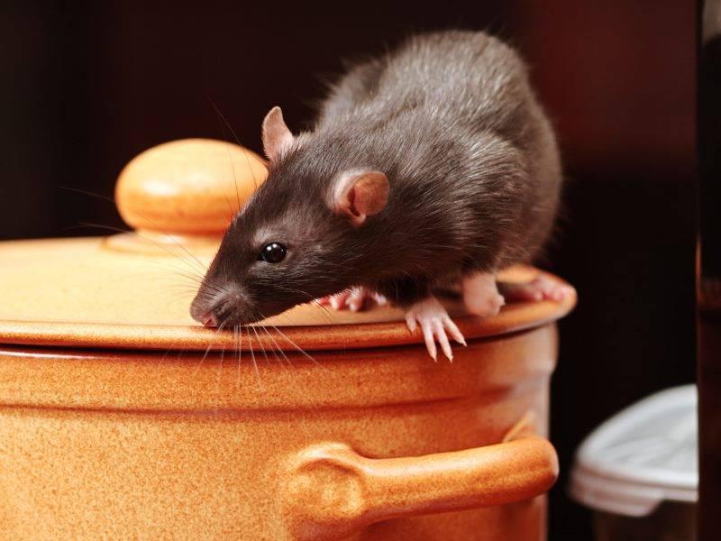 Как вывести крыс и мышей из курятника: методы борьбы и избавления от грызунов