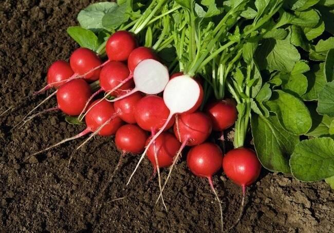 Рассада редиса: можно ли выращивать овощ через побеги, когда это лучше делать, как сеять в улитку, что подъедает всходы, что делать, если они вытянулись? русский фермер