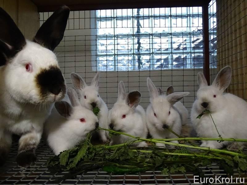 Можно ли давать кроликам рапс? - домашние наши друзья