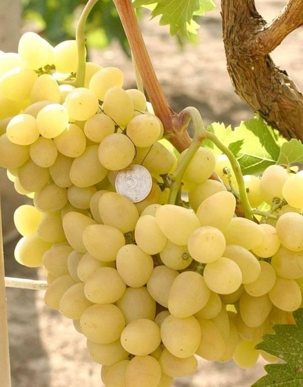 Виноград аркадия: описание сорта фото, выращивание