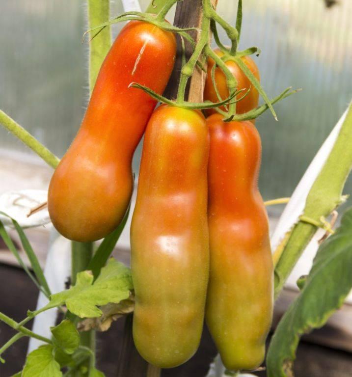 Томат «веселый гном»: выращиваем на огороде или в вазоне