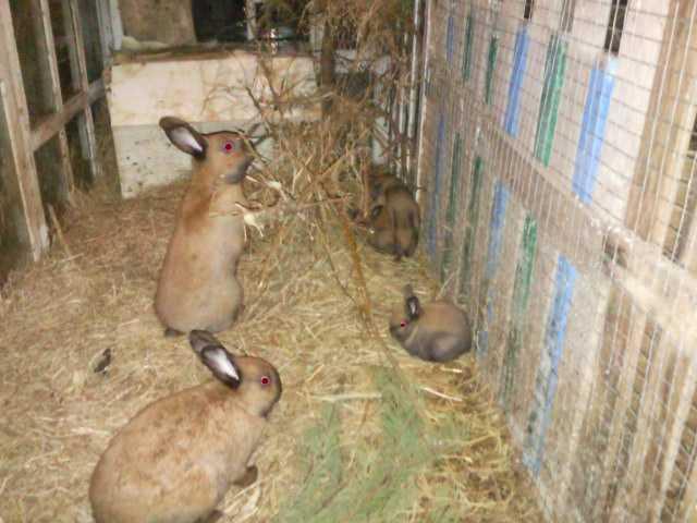 Как откормить кролика на мясо за короткое время? - всёпродачу