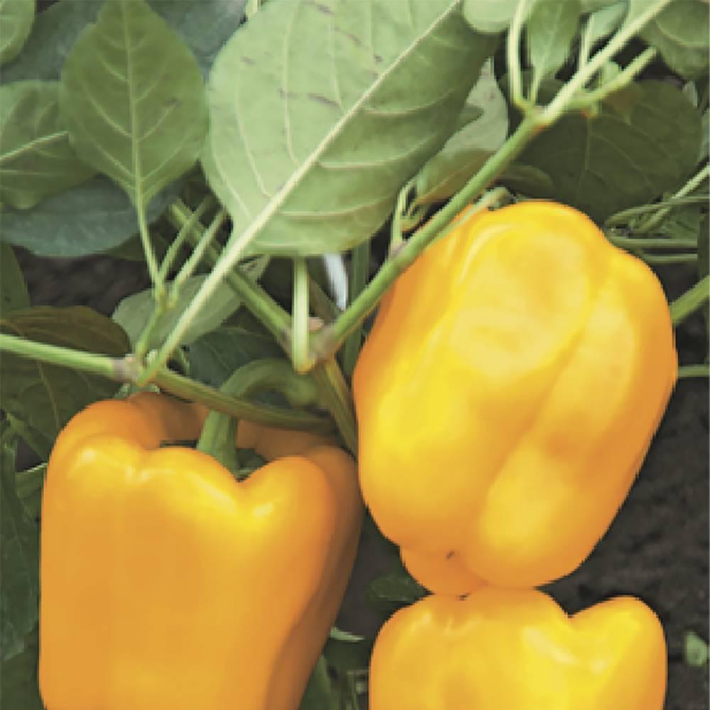 Золоте чудо перец: описание и характеристика сорта, агротехника, видео и фото