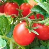 Как боротся с огородной совкой на томатах?