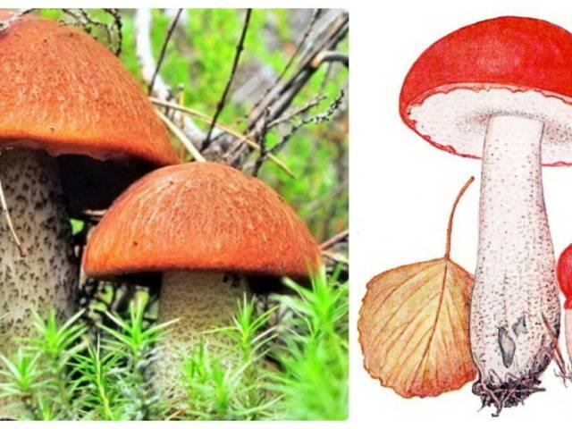 Подосиновики: как выглядят, где растут, описание видов
