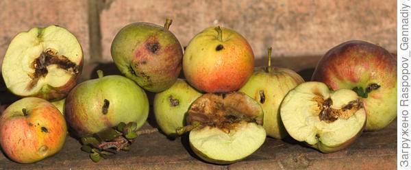 Средства от яблоневой плодожорки – выбор из топ-13 инсектицидов