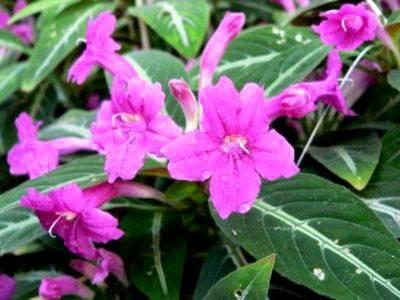 Уход за руэллией в домашних условиях: популярные сорта цветка, размножение
