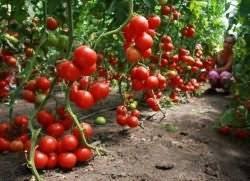 Томатное дерево для открытого грунта | вырасти сад!