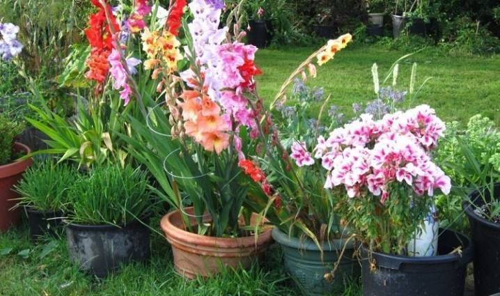 Гладиолусы в горшках (47 фото): посадка и уход за ними на улице и дома. можно ли выращивать на балконе? как их сажать? почему не цветут?
